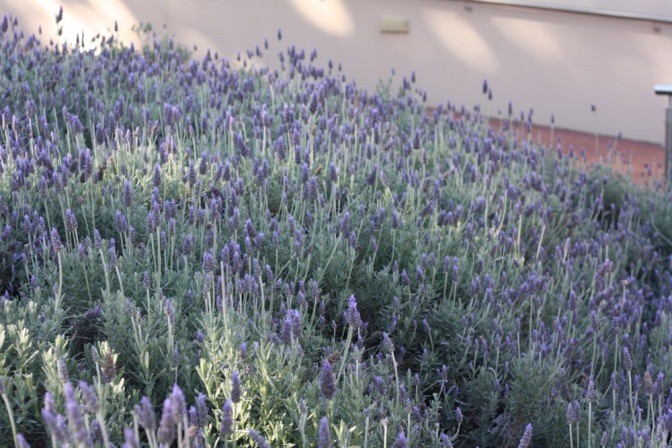 "Lavandula dentata ""French lavender"""