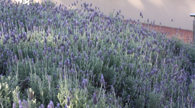 Lavender in the Subtropics – Tasks for Right Now!