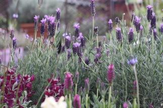 "Lavandula stoechas ""Italian lavender"""