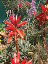 French Levedar interplanted with red aloes