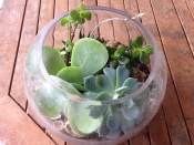 succulents in a fish bowl terrarium
