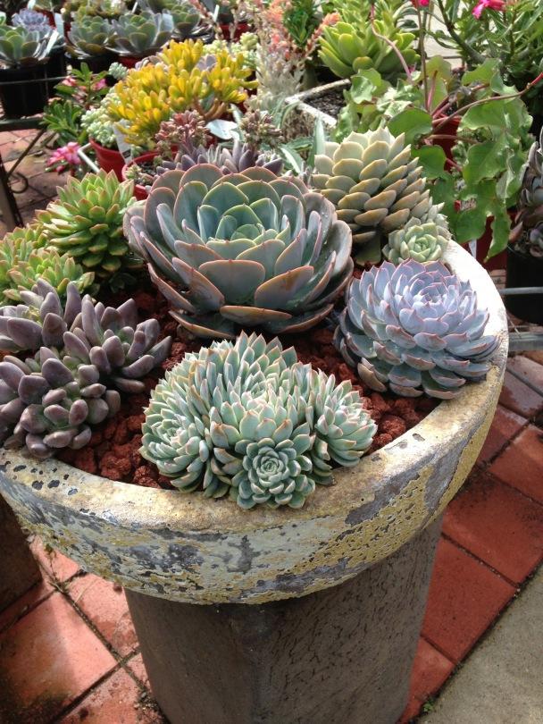 bowl of Echeverias, Pachyverias and Sempervirens.