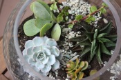 Succulents planted in a fish bowl
