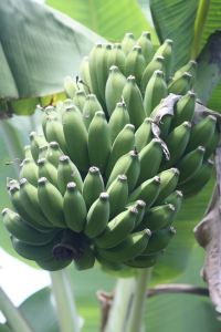 Ripening bunch of bananas