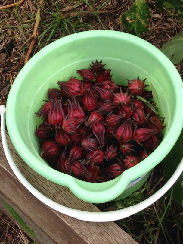 Bucket of Rosella calyxes