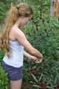 Young girl helping to pic Rosella calyxes