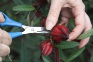 Using scissors to pick rosella calyxes