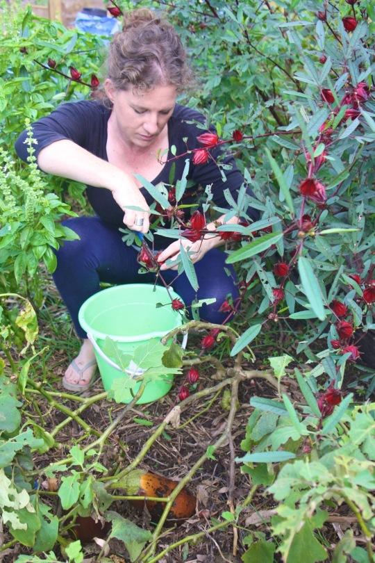 Claire harvesting Rosella calyxes