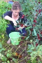 Claire harvesting Rosella calyxes