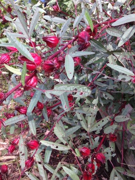 Close up of rosella bush