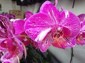 close up of a large orchid flower