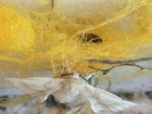 Recently hatch silkworm moth