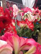 Hippeastrum flowers