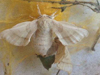 Silkworm moths mating