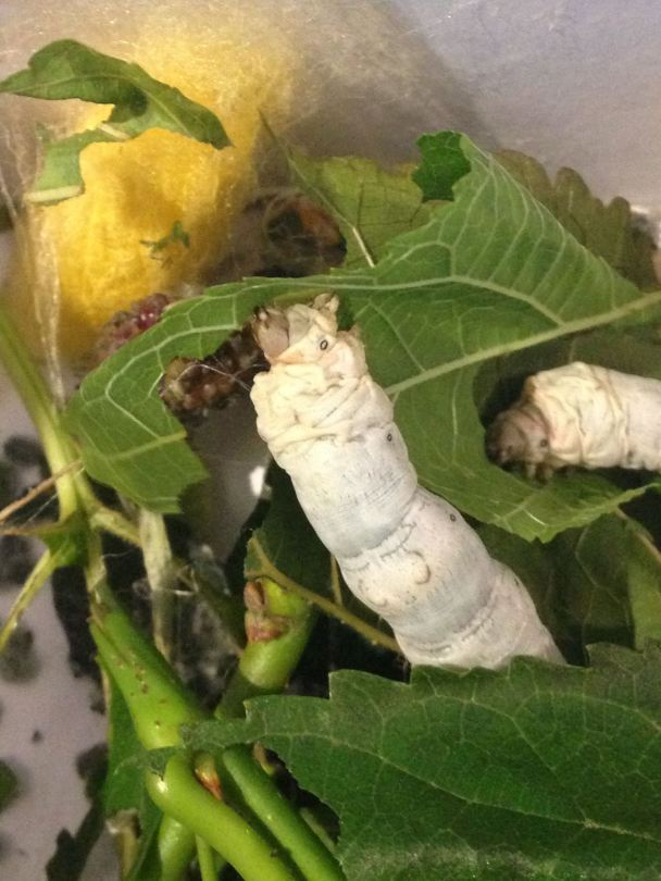Silkworms eating leaves