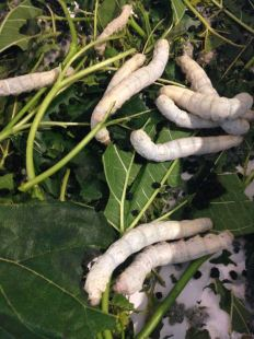 Silkworms amongst leaves
