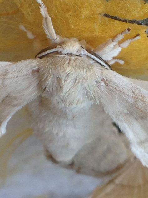 Silkworm moth in close up
