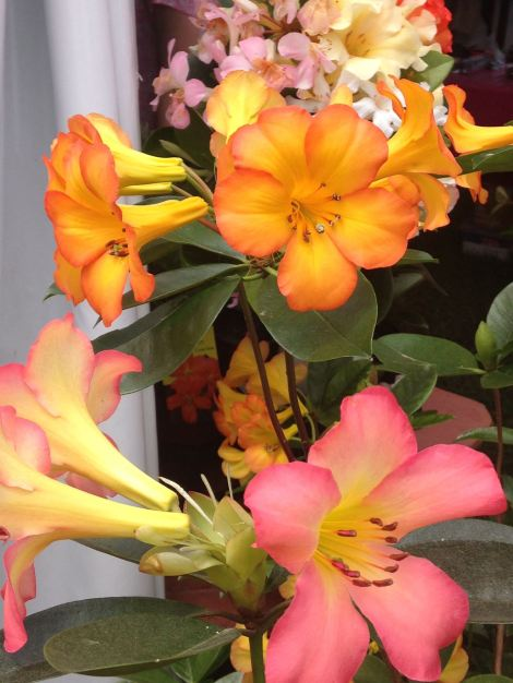 Vireya flowers