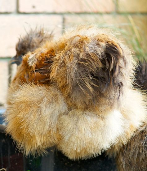 rear view of Chinese Silkie