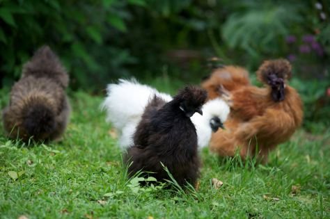 group of silkies