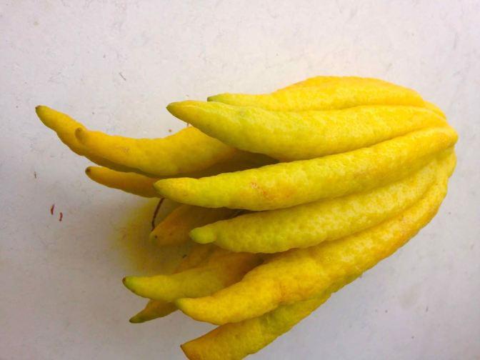 Buddha's Hand Citron – Citrus medica var. sarcodactylis