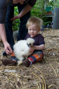 Silkies make great pets for children because of their placid and friendly nature.