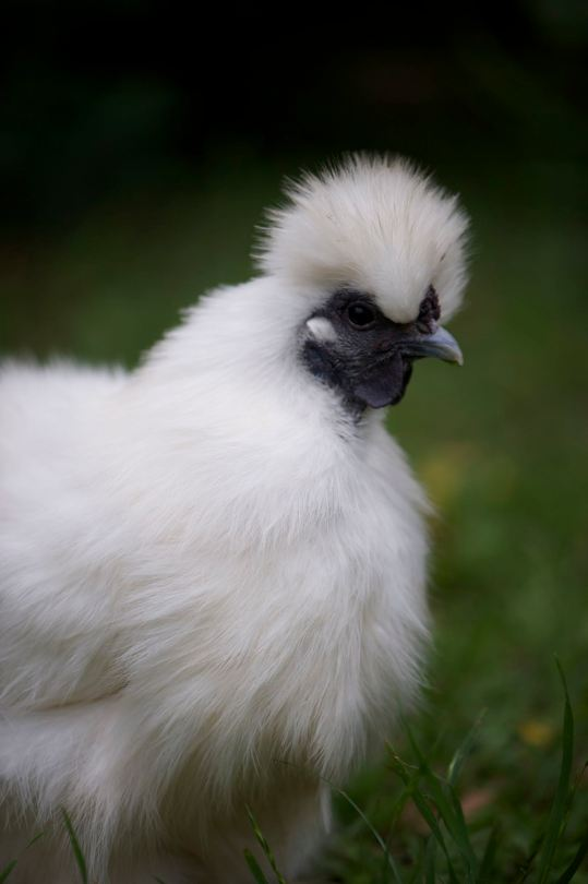 'Princess' a Chinese Silkie chicken