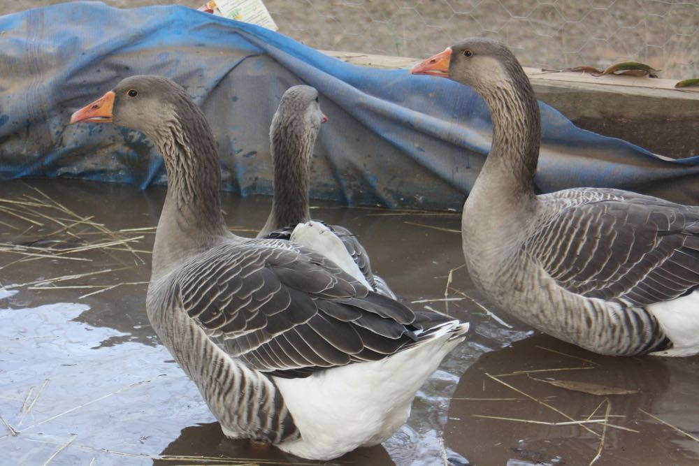 Love A Duck And A Gaggle Of Geese Claire Bickle