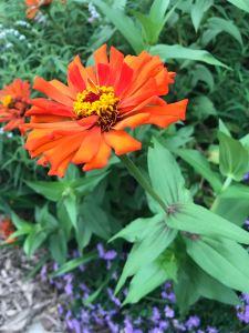 Zinnia edible flower