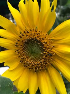 Sunflower edible flower and seeds